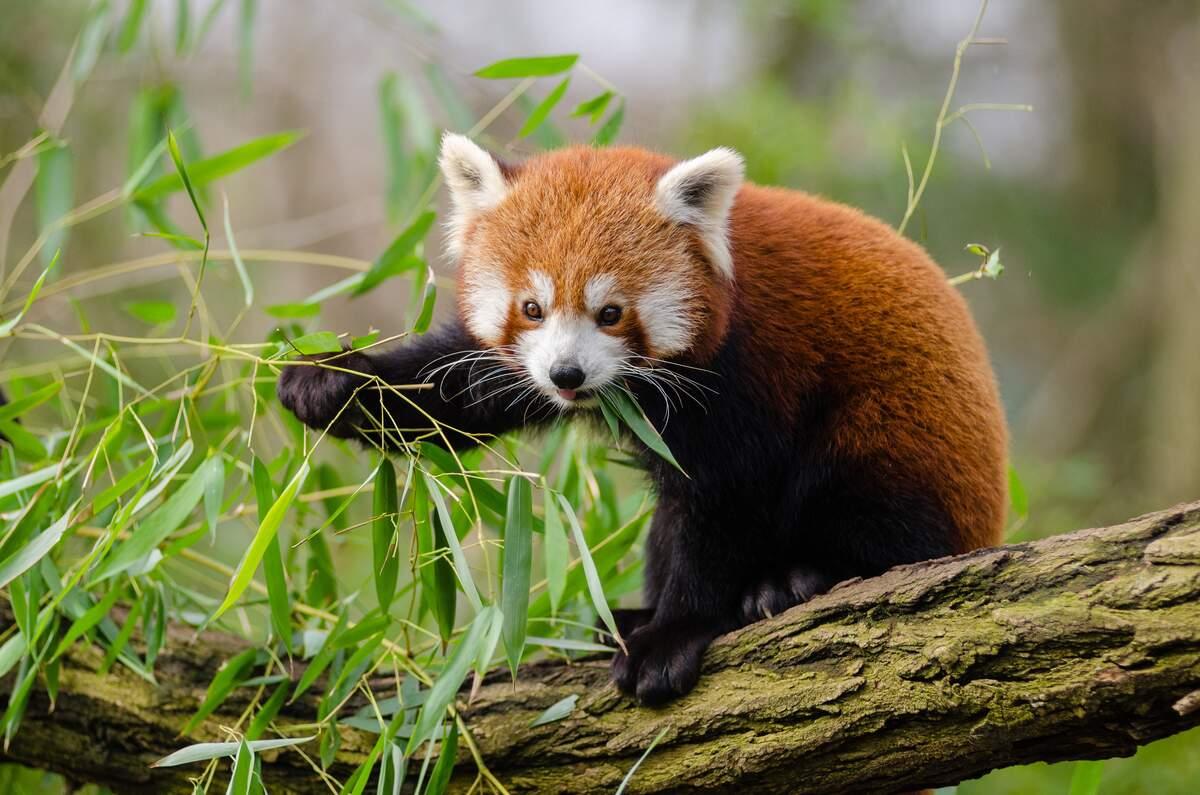 International Red Panda Day | Holiday | Checkiday.com