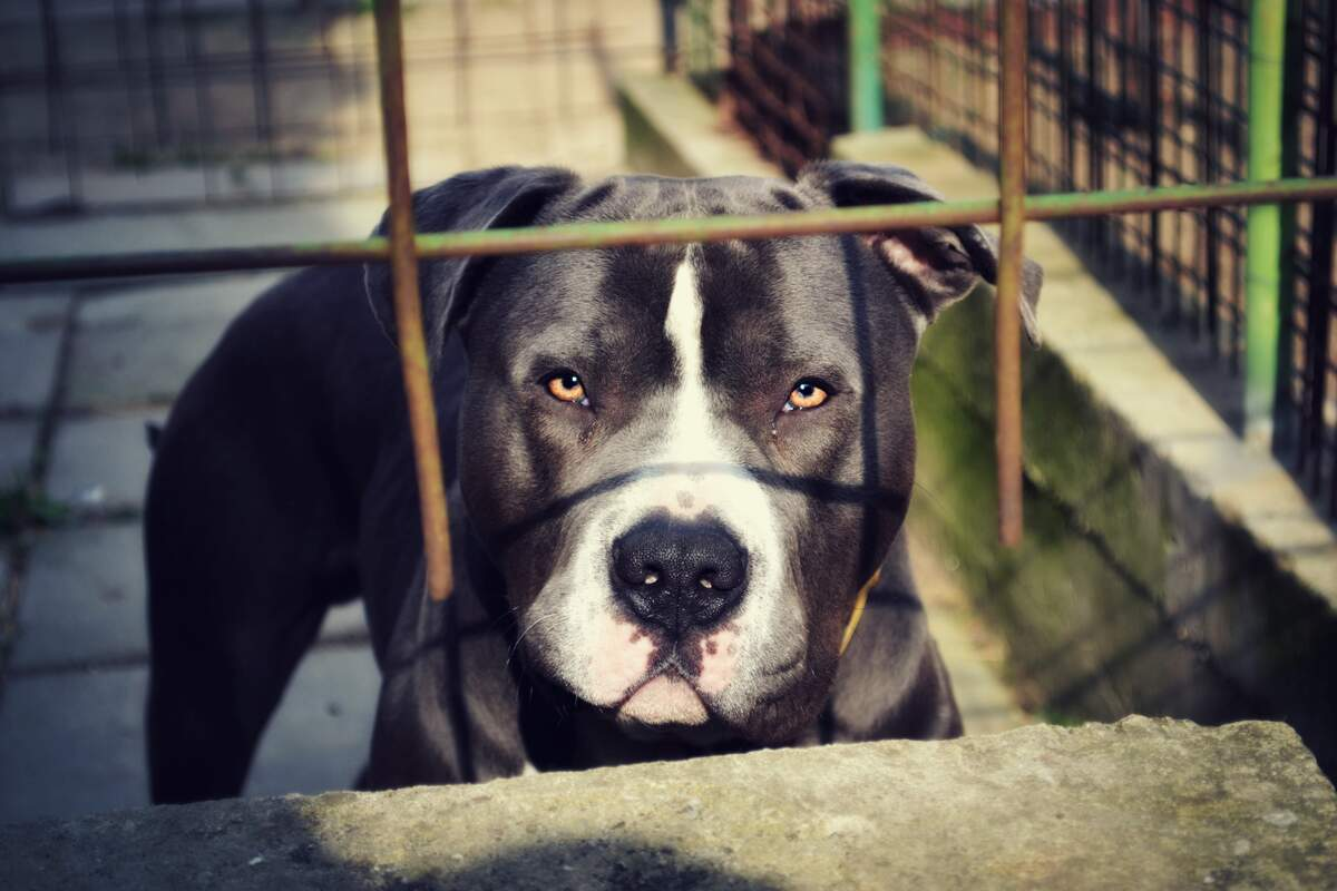Image for National Pit Bull Awareness Day