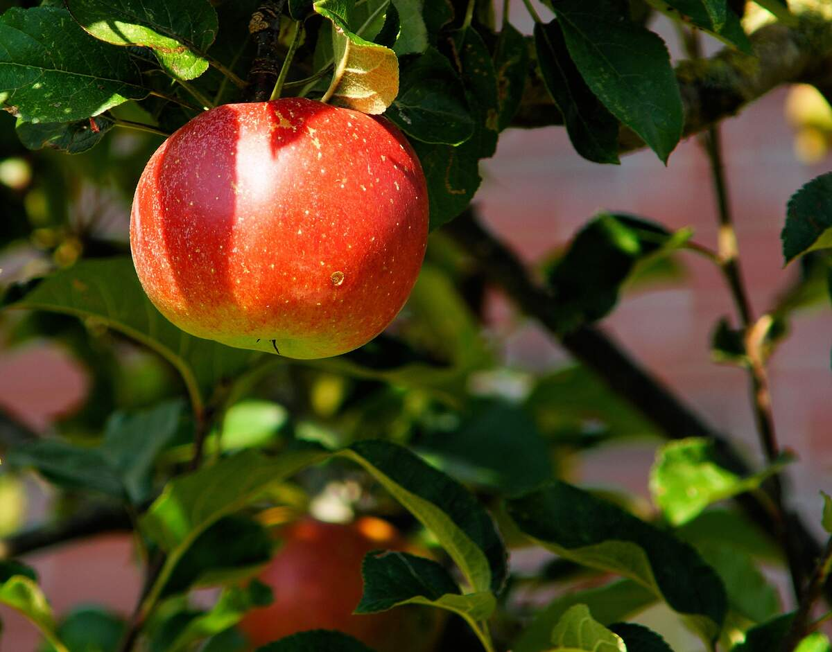 Image for Apple Tree Day