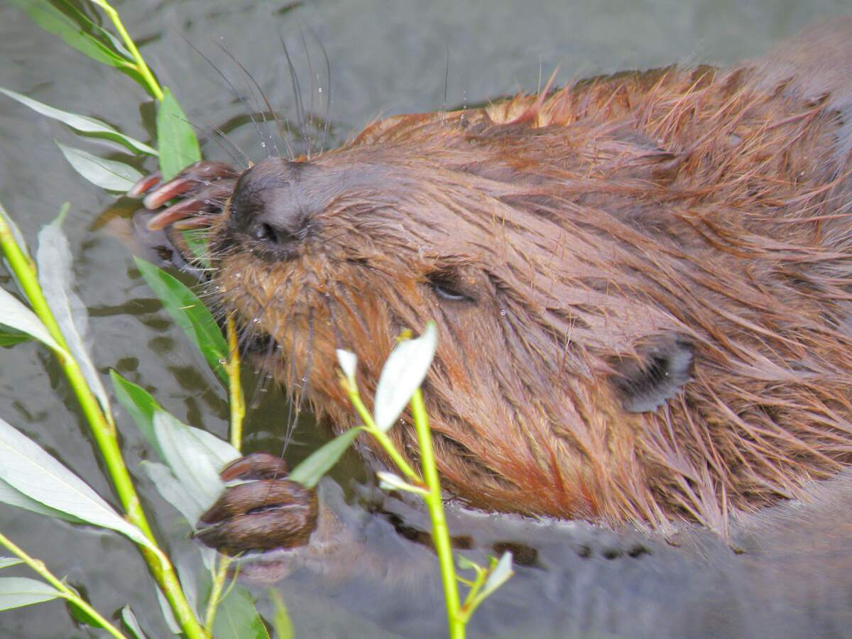 Image for International Beaver Day