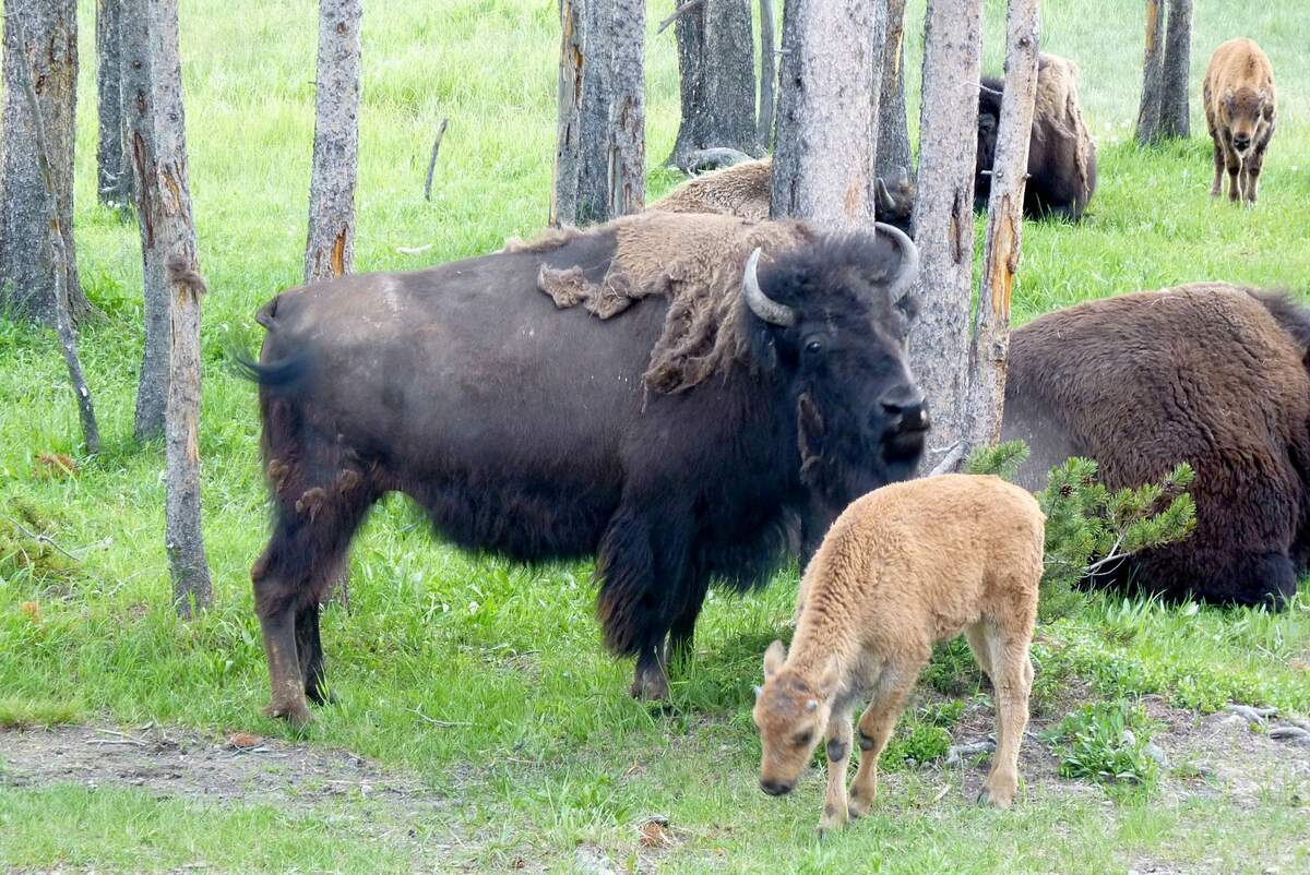 Image for National Bison Day