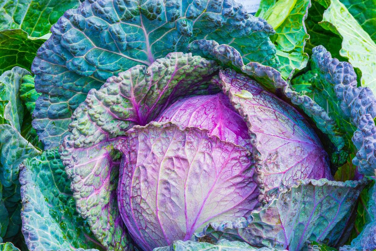 Image for National Cabbage Day