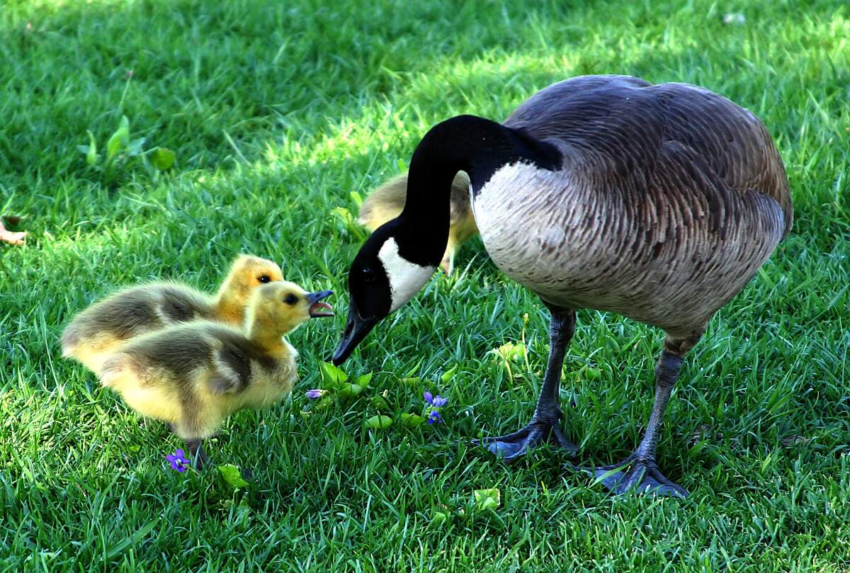 Image for Goose Day