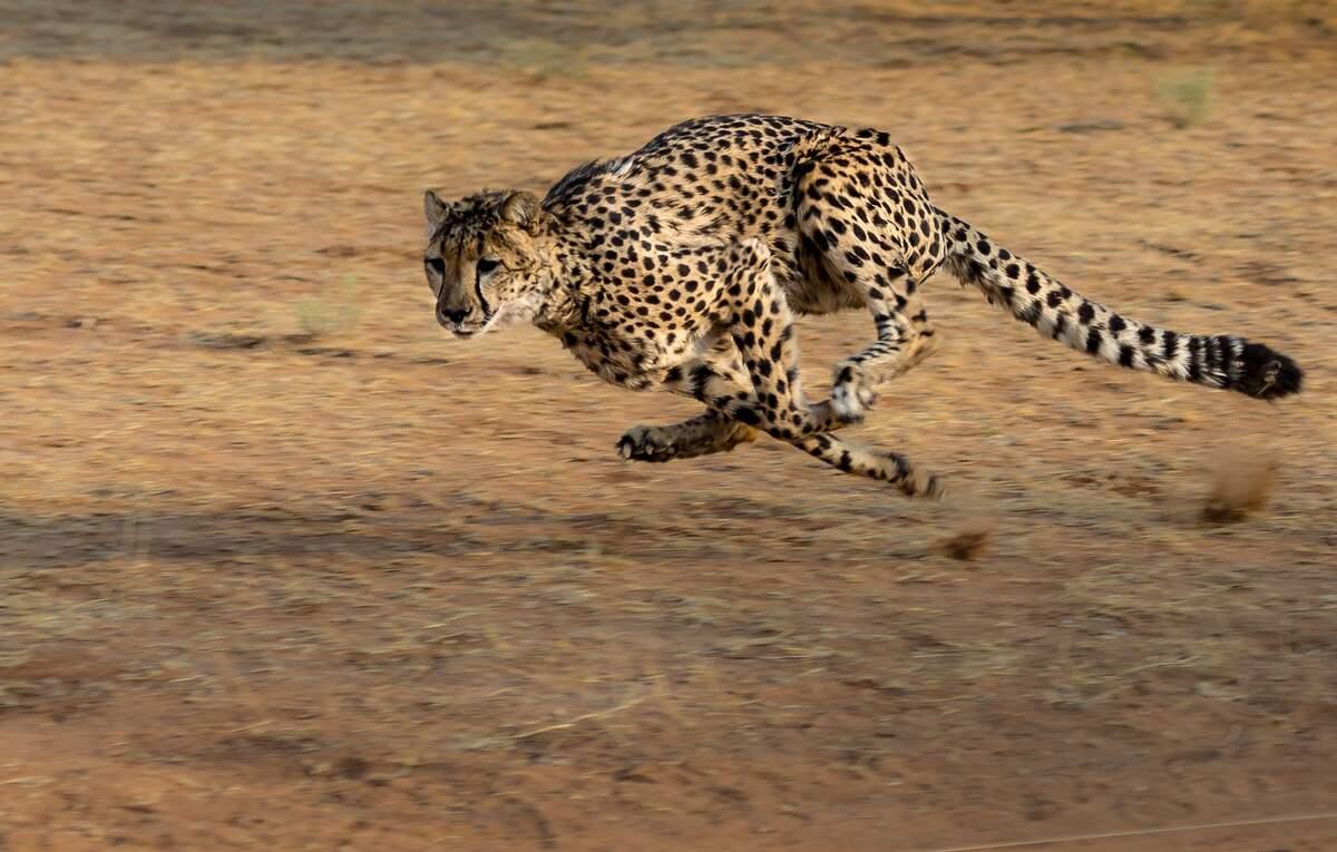 Image for International Cheetah Day