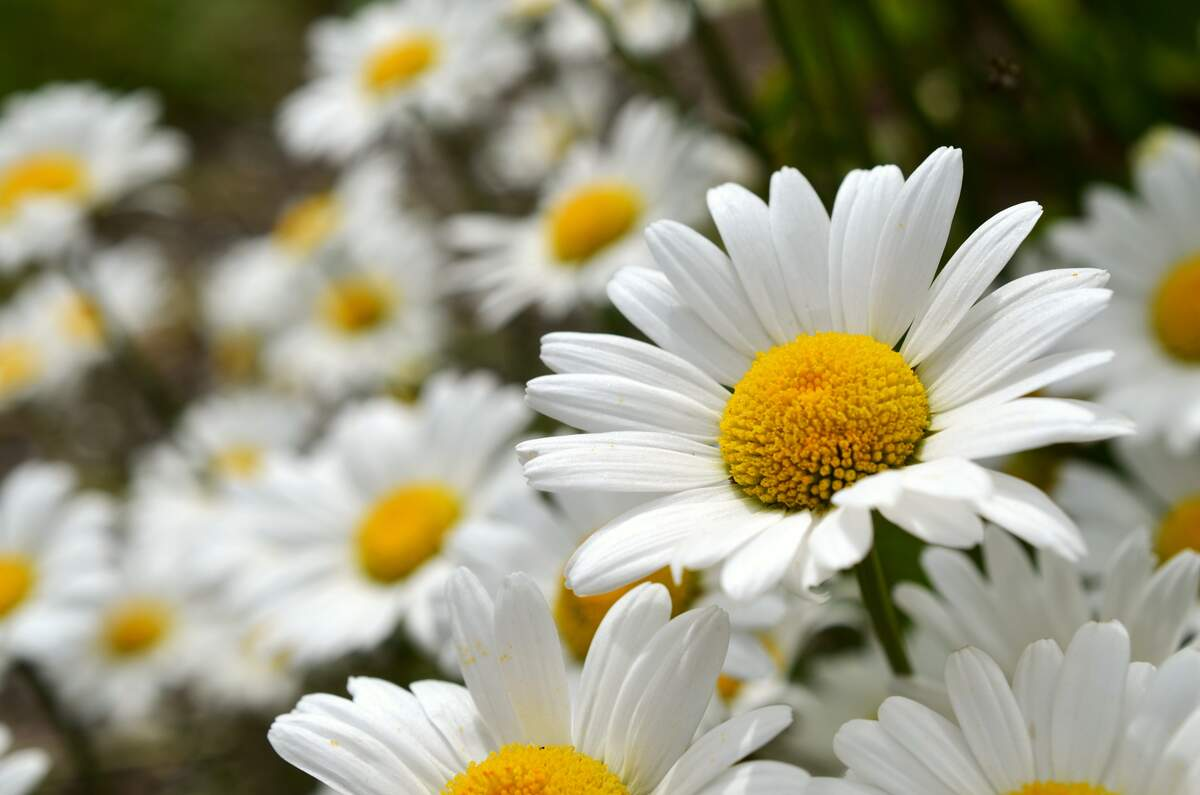 Image for Daisy Day
