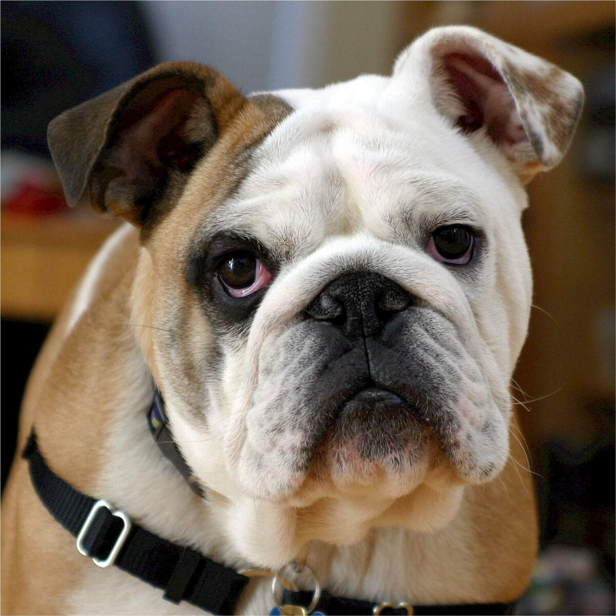 Image for Bulldogs are Beautiful Day