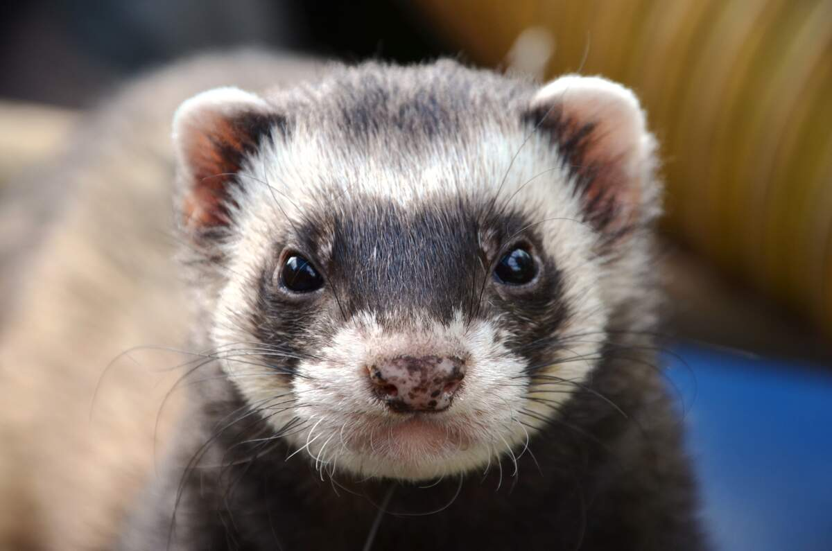 Image for Adopt a Ferret Month