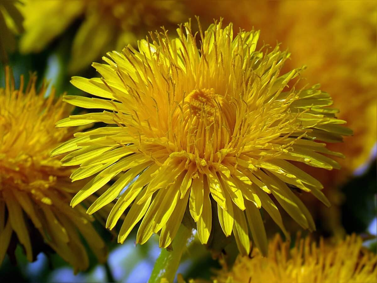 Image for National Dandelion day