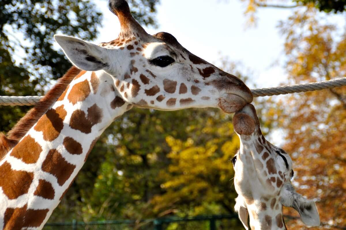 Image for World Giraffe Day
