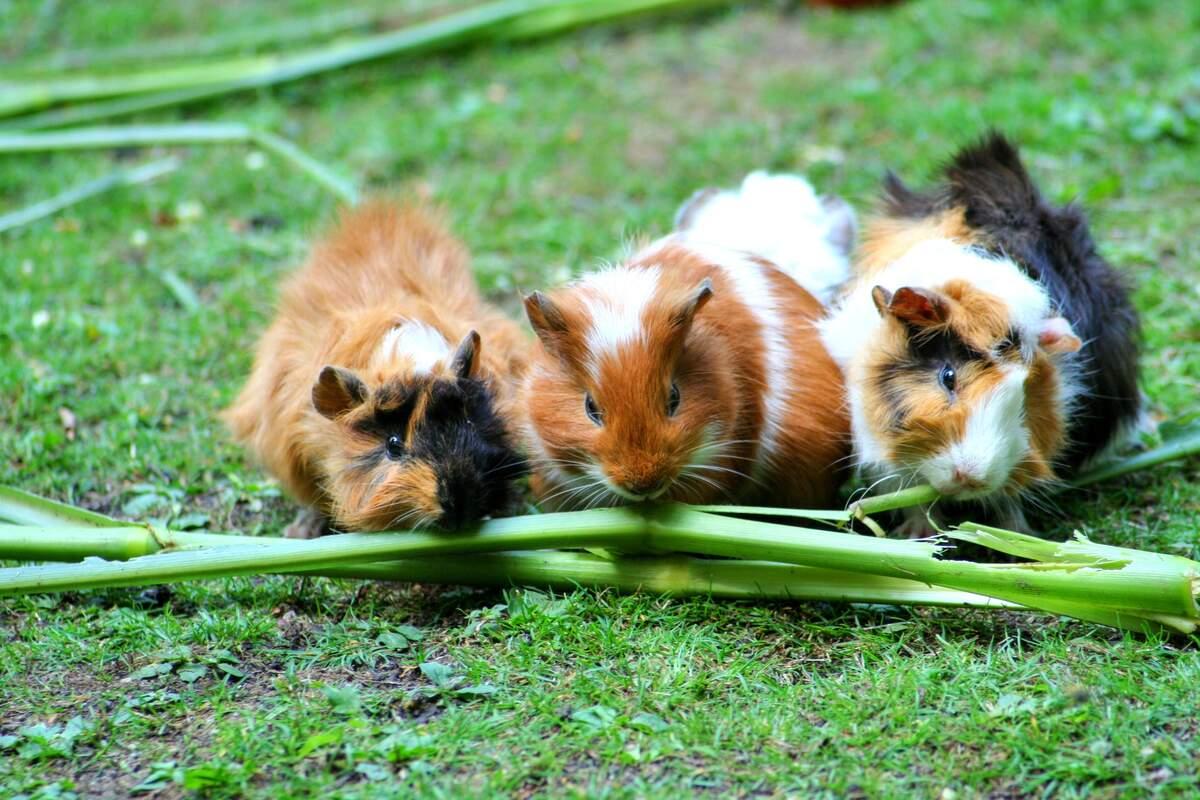 Image for Guinea Pig Appreciation Day
