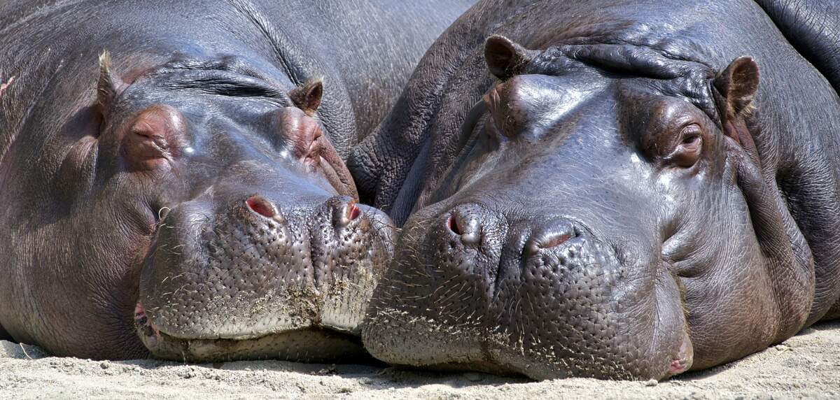 Image for National Hippo Day