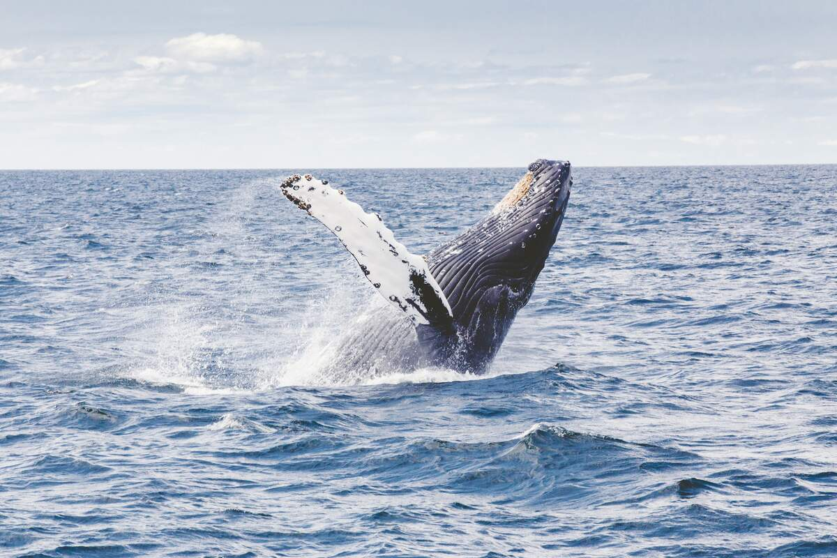 Image for Humpback Whale Awareness Month