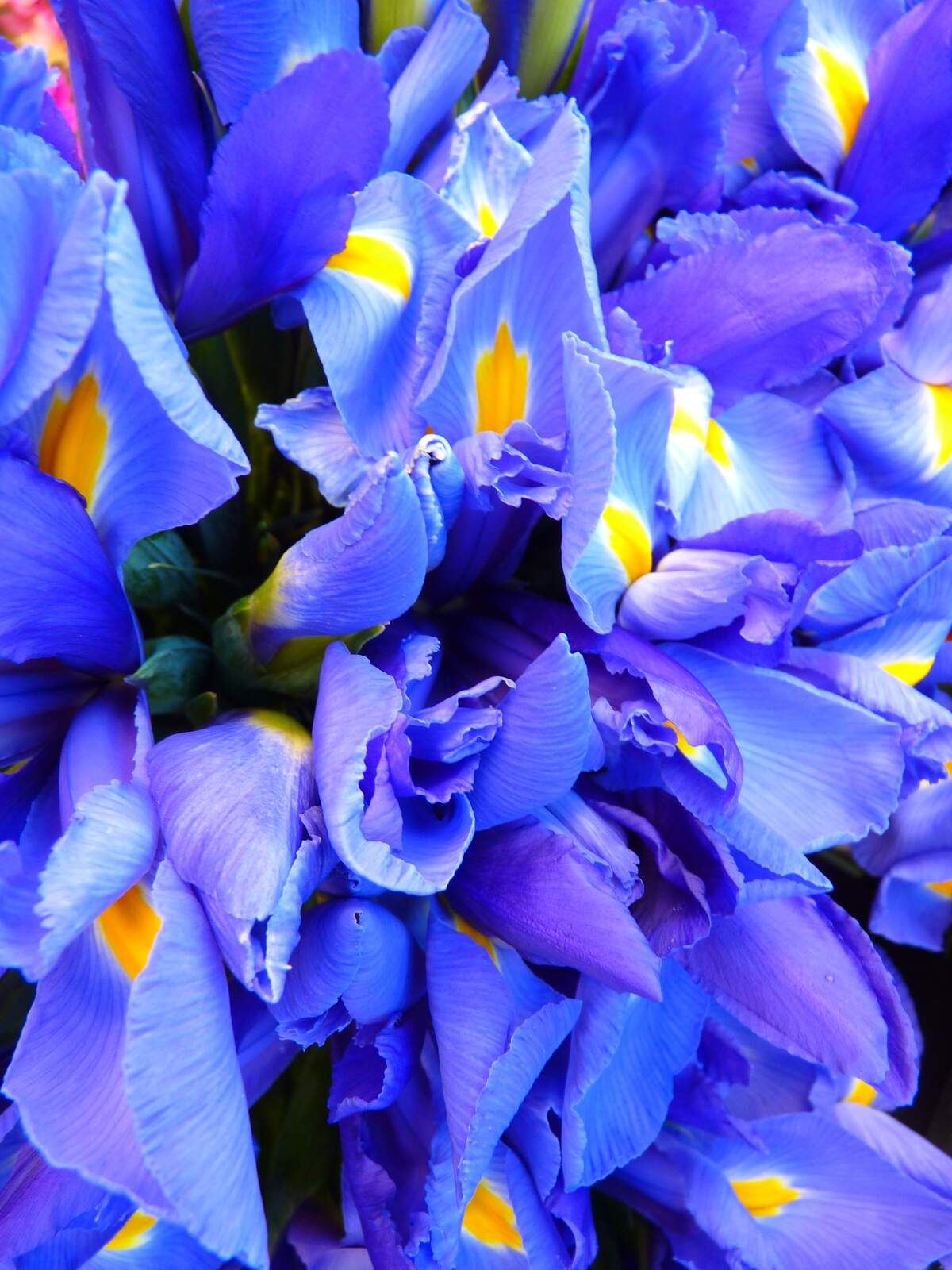 Image for Iris Day
