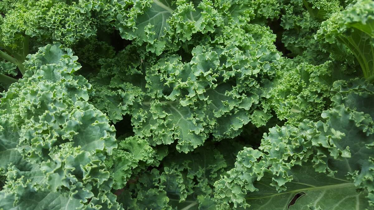 Image for National Kale Day