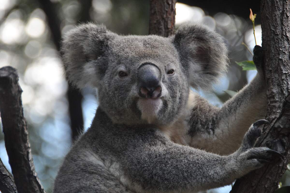 Image for Save the Koala Day