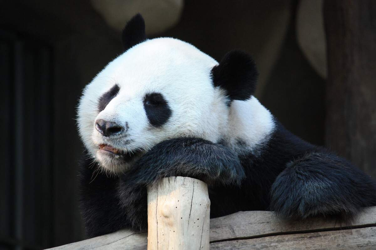 Image for National Panda Day