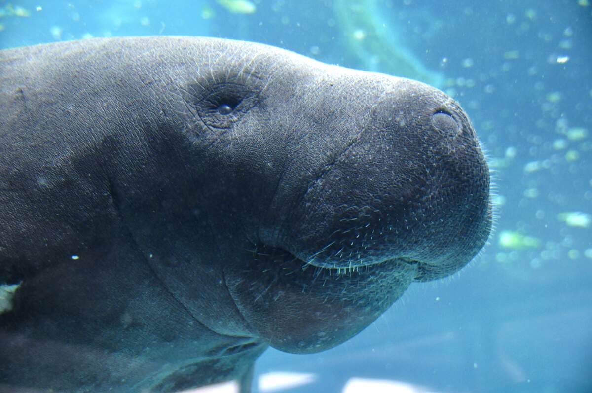 Image for Manatee Awareness Month