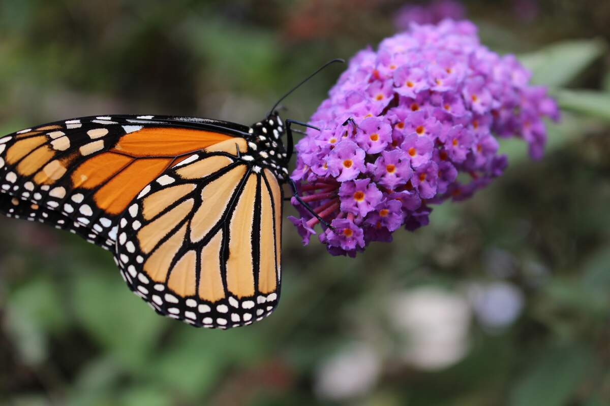 Image for National Start Seeing Monarchs Day