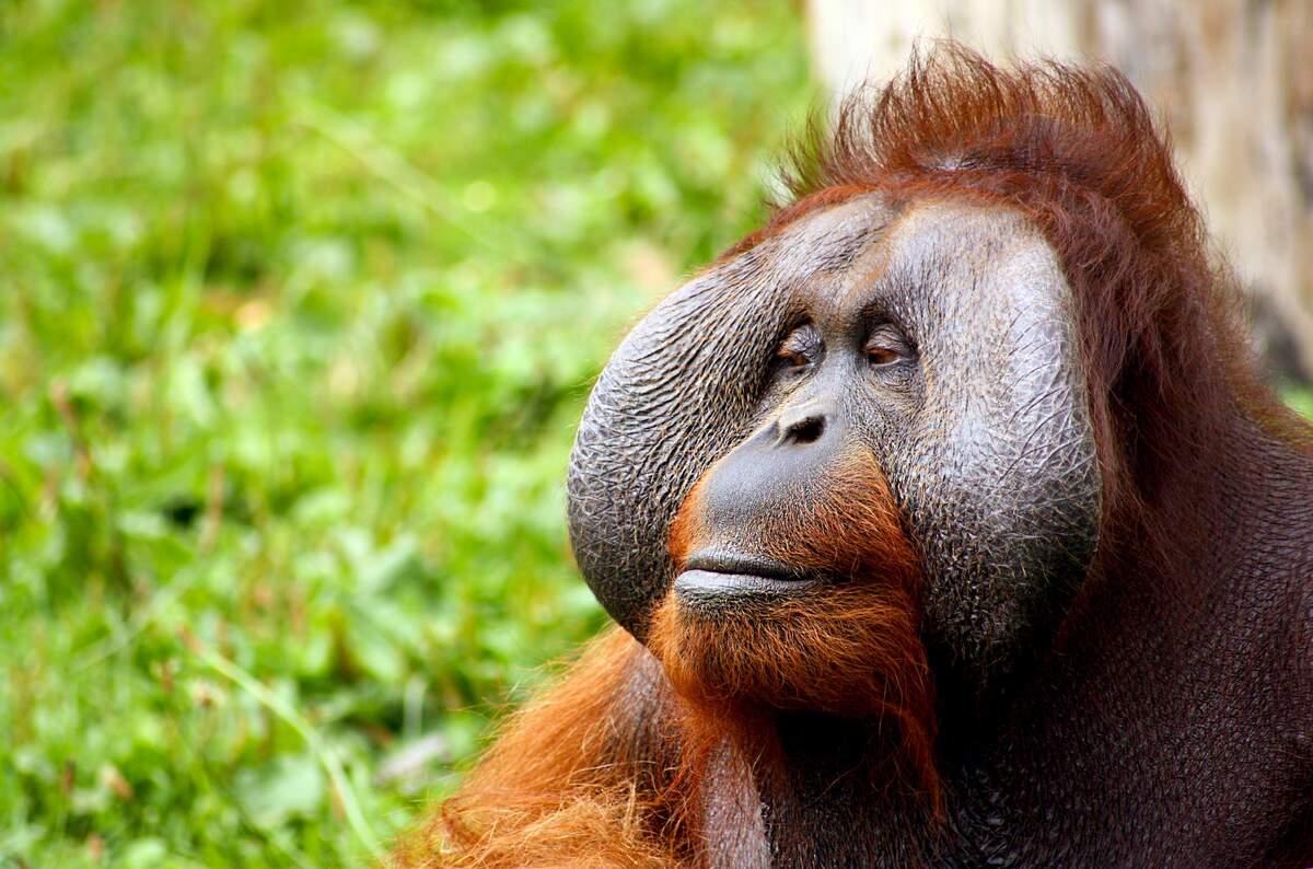 Image for International Orangutan Day