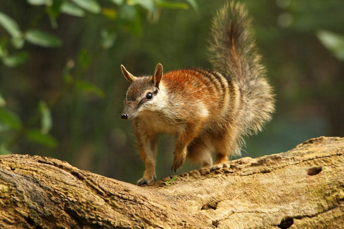 Image for World Numbat Day