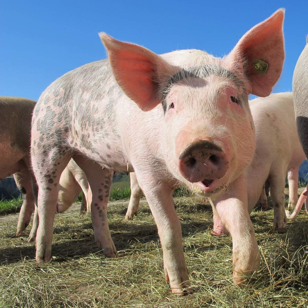 Image for National Pig Day