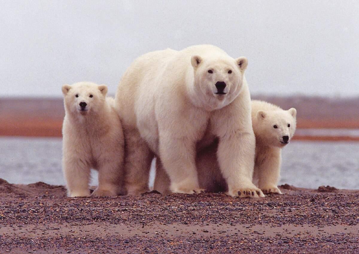Image for International Polar Bear Day