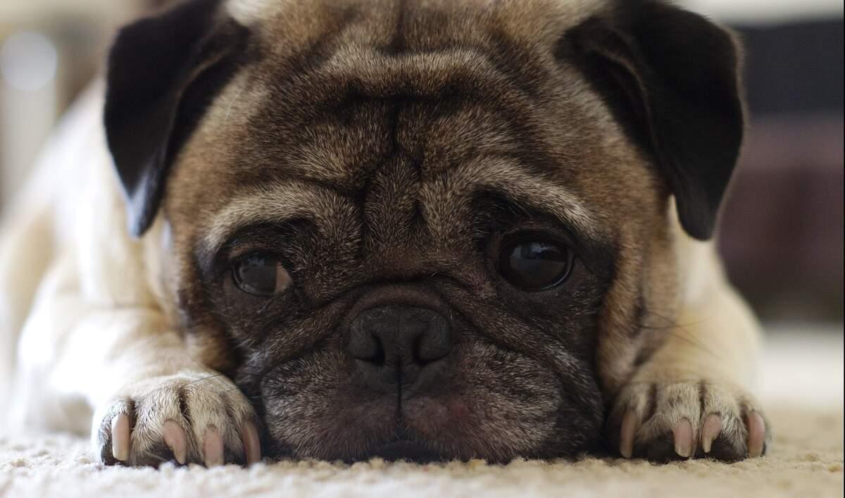 Image for National Pug Day