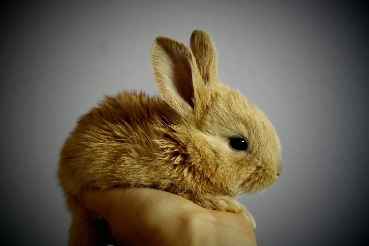 Image for Adopt a Rescued Rabbit Month