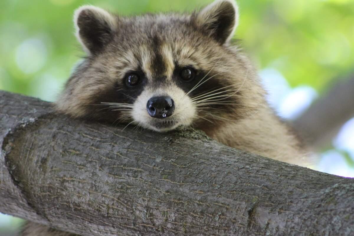 Image for International Raccoon Appreciation Day