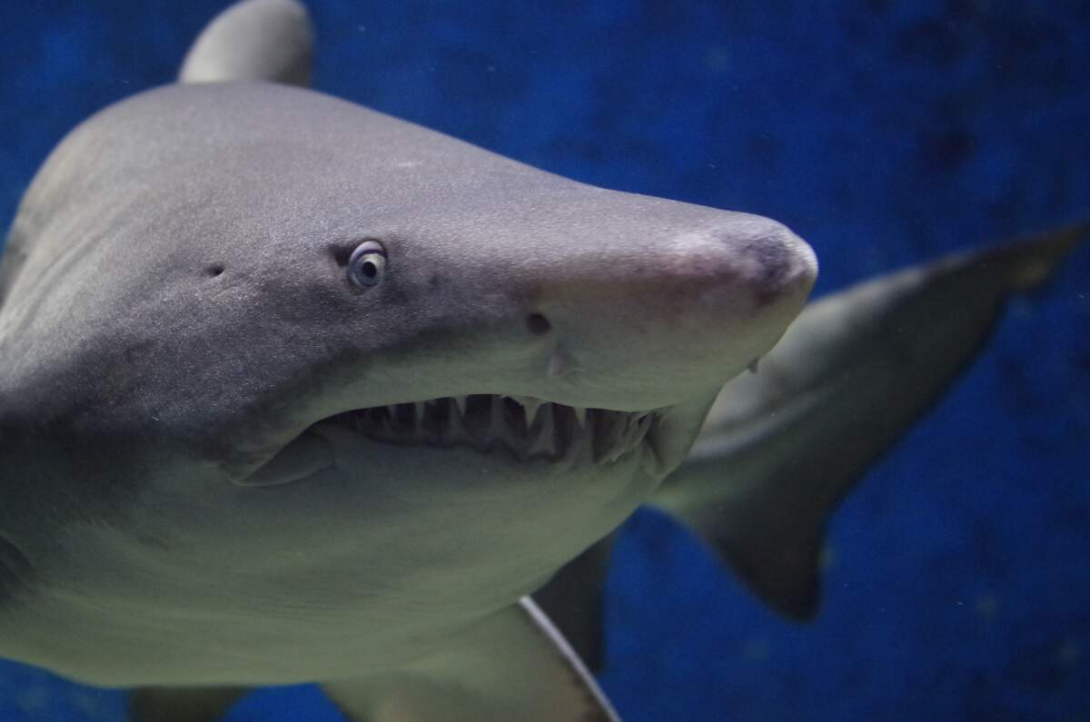 Image for Kiss a Shark Week