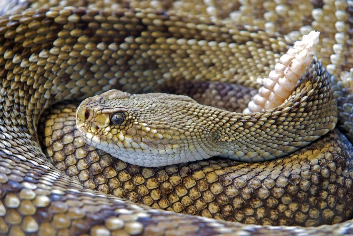 Image for Rattlesnake Roundup Day