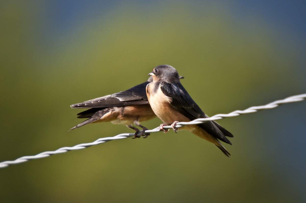 Image for Swallows Depart from San Juan Capistrano Day