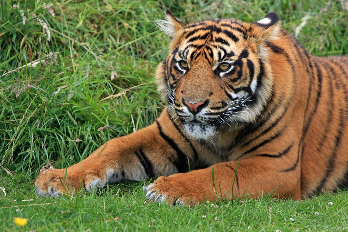 Image for National Save a Tiger Month