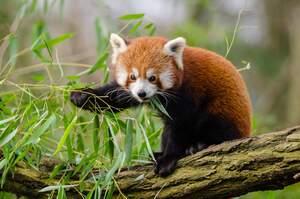 Image for International Red Panda Day