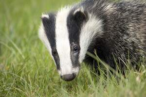 Image for National Badger Day