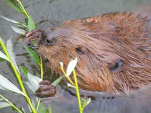 Image for International Beaver Day