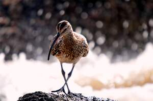 Image for Curlew Day