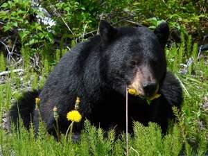 Image for National Black Bear Day