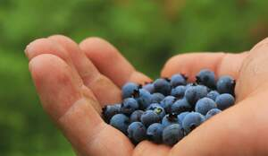 Image for Pick Blueberries Day