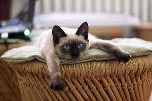 Image for National Siamese Cat Day