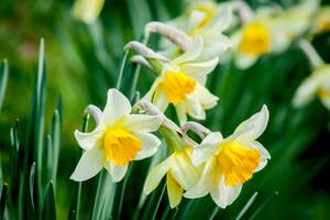 Image for Daffodil Day