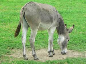 Image for National Mule Day