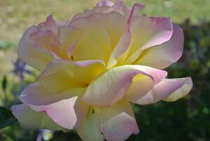Image for National Peace Rose Day