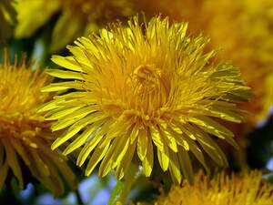 Image for National Dandelion day
