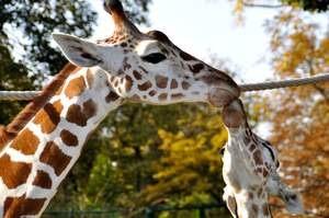 Image for World Giraffe Day