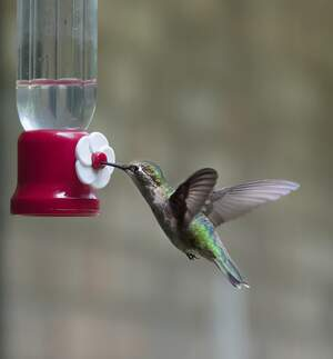 Image for National Hummingbird Day