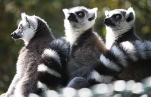Image for World Lemur Day