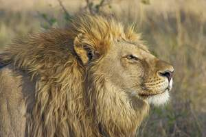 Image for World Lion Day
