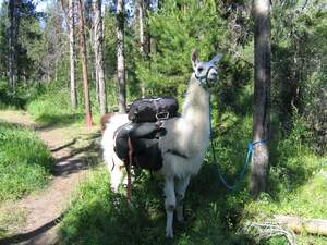 Image for National Llama Day