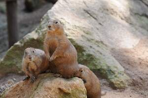 Image for Marmot Day
